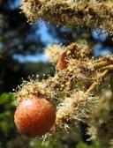 Chrysolepis chrysophylla