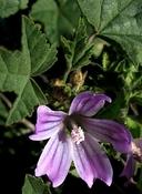 Malva nicaeensis