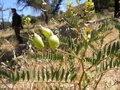 Astragalus douglasii var. parishii