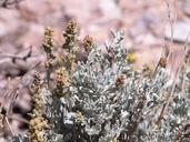 Artemisia tridentata