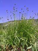 Carex pachystachya