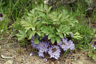 Hydrophyllum alpestre