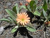 Silene salmonacea