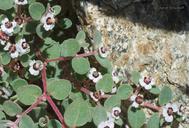Chamaesyce melanadenia