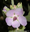 Malacothamnus aboriginum