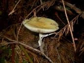 Russula claroflava