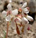 Eremothera boothii ssp. decorticans