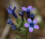 Allophyllum gilioides ssp. gilioides