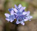 Gilia achilleifolia
