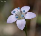 Gilia achilleifolia ssp. multicaulis