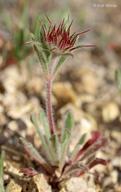 Chorizanthe douglasii