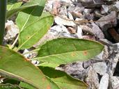Eriogonum nudum var. auriculatum