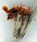 Eriogonum elongatum