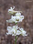 Delphinium hesperium ssp. pallescens