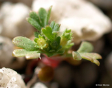 Aphanes occidentalis