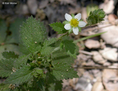 Drymocallis glandulosa var. glandulosa