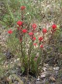 Castilleja affinis ssp. affinis