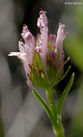 Plectritis ciliosa ssp. ciliosa