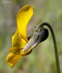 Viola pedunculata