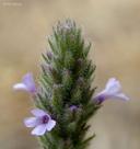 Verbena lasiostachys var. scabrida