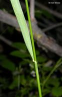Elymus glaucus