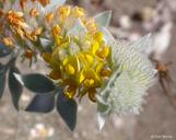 Acmispon argophyllus var. niveus