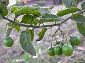 Solanum clokeyi