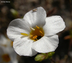 Linanthus aureus ssp. decorus