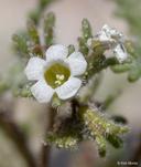 Phacelia ivesiana