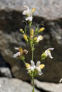 Keckiella breviflora var. glabrisepala