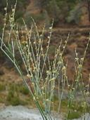Eriogonum covilleanum