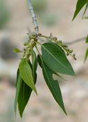 Populus angustifolia