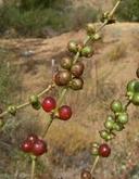Lonicera subspicata var. denudata