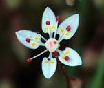 Micranthes bryophora
