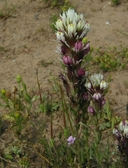 Castilleja densiflora ssp. densiflora