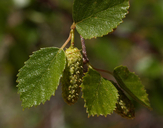 Betula occidentalis
