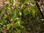 Betula occidentalis