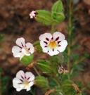 Mimulus viscidus var. viscidus