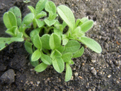 Mouse-eared Chickweed