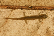 Desmognathus ocoee