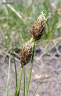 Carex breweri