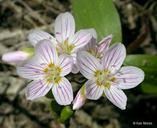 Claytonia lanceolata