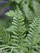 Athyrium distentifolium var. americanum