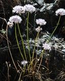 Allium amplectens