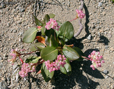 Eriogonum pyrolifolium