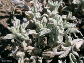 Eriophyllum lanatum var. integrifolium