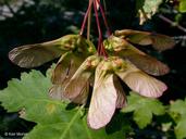 Acer glabrum