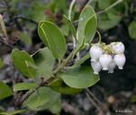 Arctostaphylos nevadensis