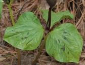 Trillium angustipetalum