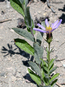 Eucephalus ledophyllus var. covillei